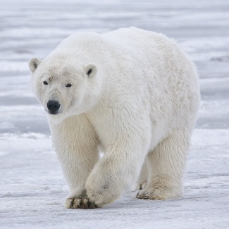 Polar_Bear_-_Alaska_(cropped)
